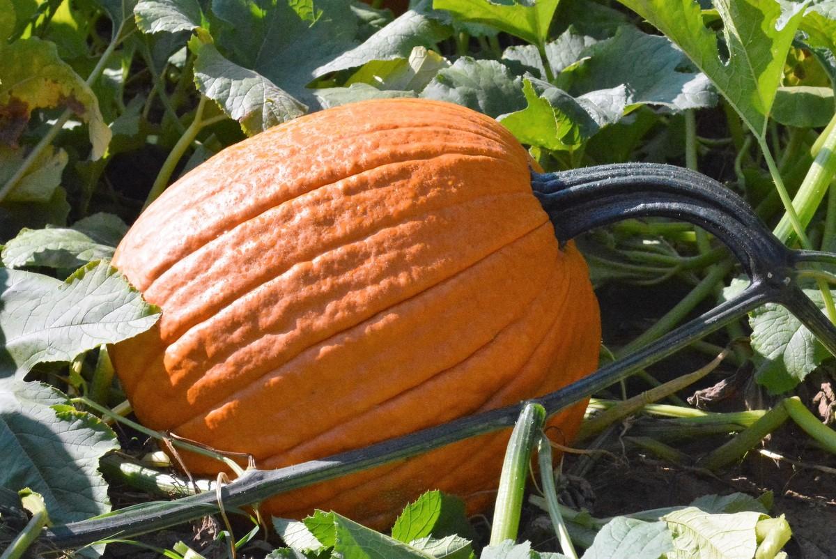 Apogee F1 Pumpkin