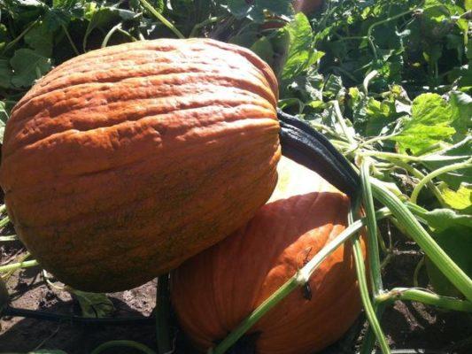 Apogee (Hybrid) Pumpkin