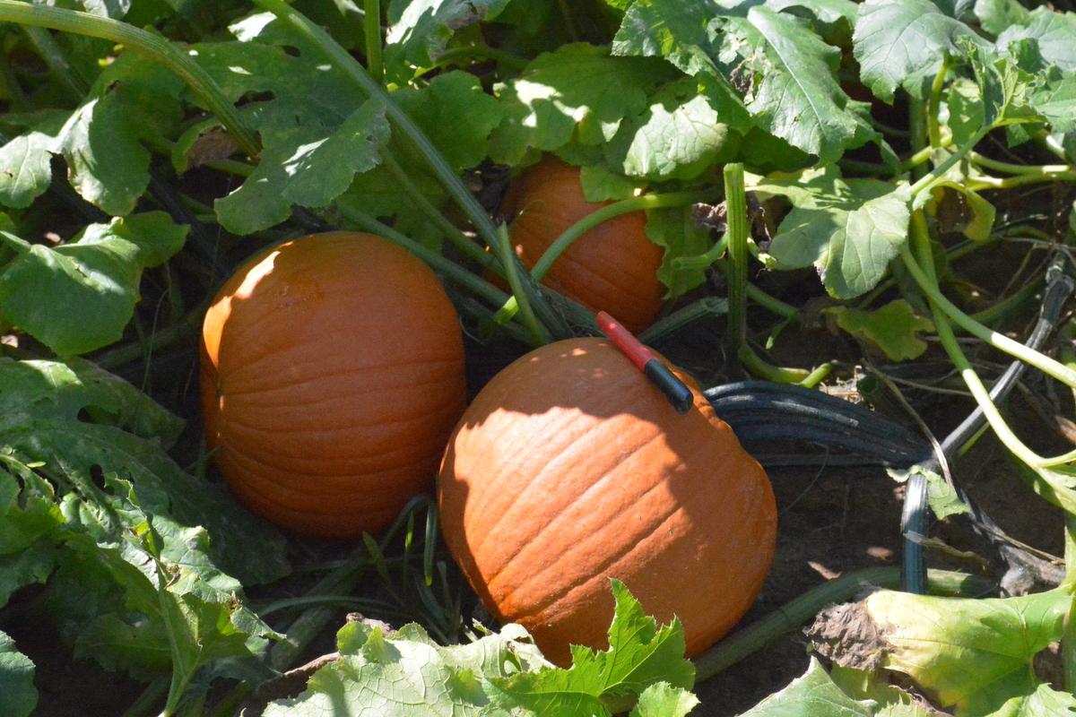 Capital F1 Pumpkin