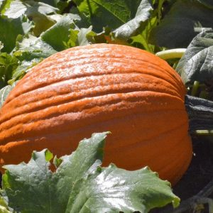 Checkmate F1 Pumpkin