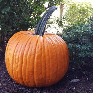 Conquest F1 Pumpkin