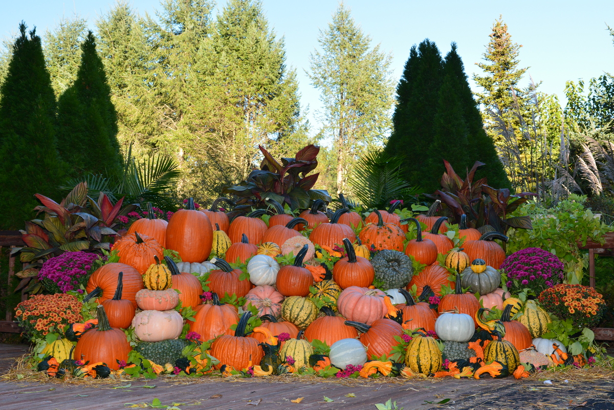 PMR Pumpkins; Outstanding Seed Hybrids
