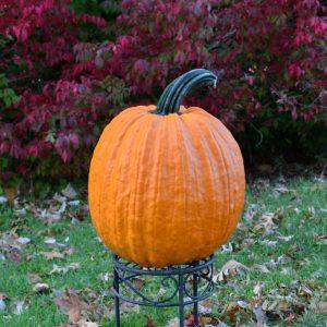 Dynasty F1 Pumpkin