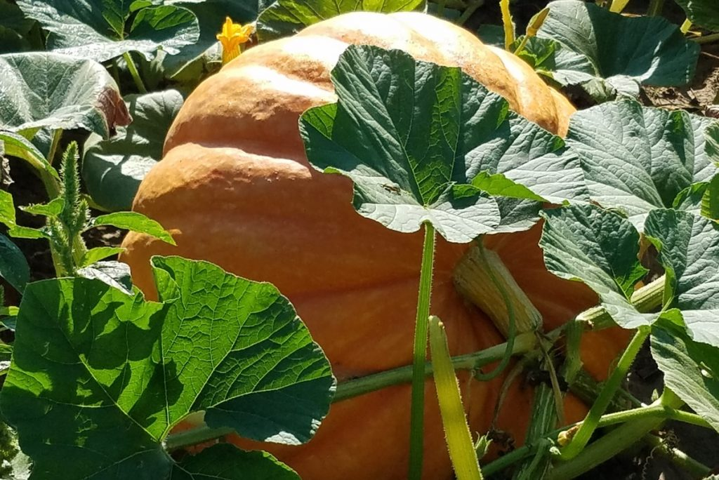 Growers Giant F1 Pumpkin