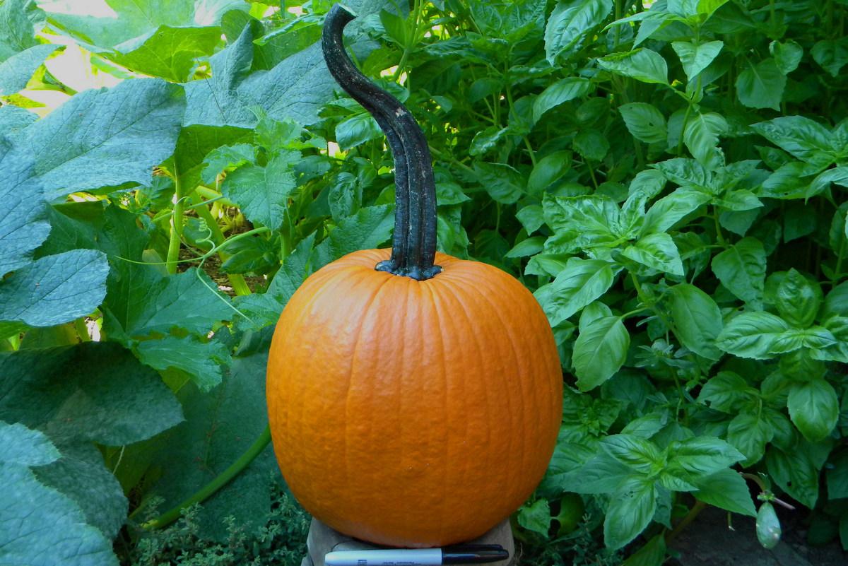 Progress F1 Pumpkin
