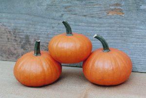 Treasure F1 Pumpkin
