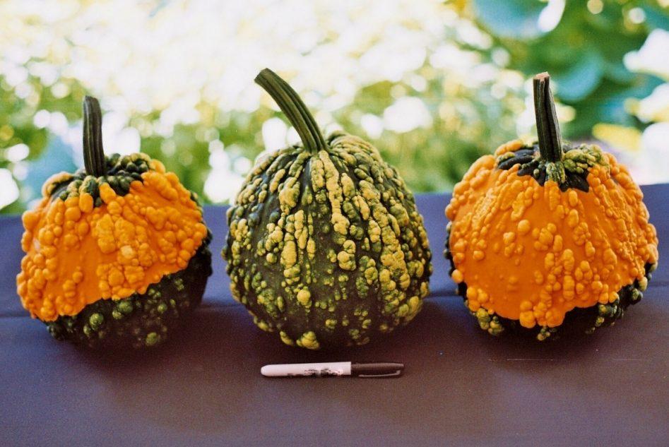 Warts Galore F1 Pumpkin