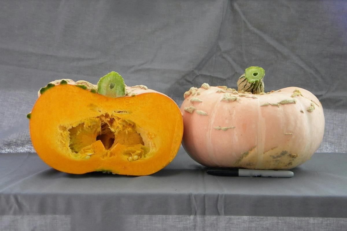 Warts Plethora F1 Pumpkin
