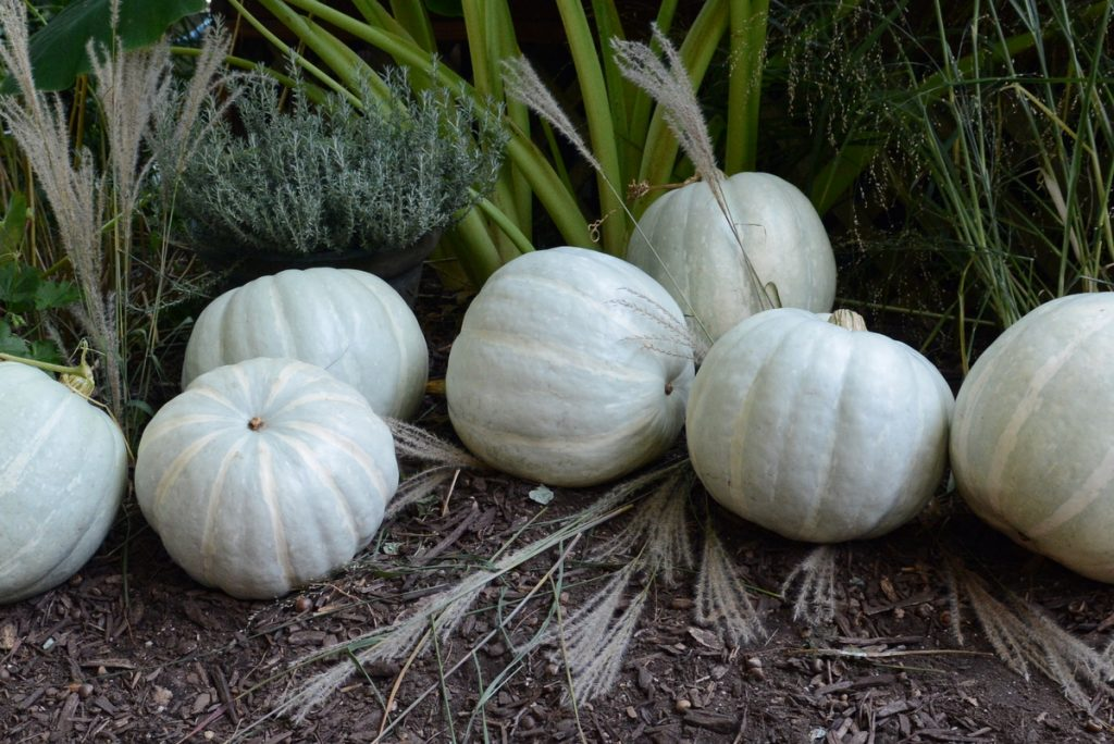 White Delight F1 Pumpkin
