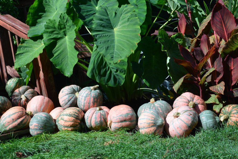 Rembrandt (Hybrid) Pumpkin