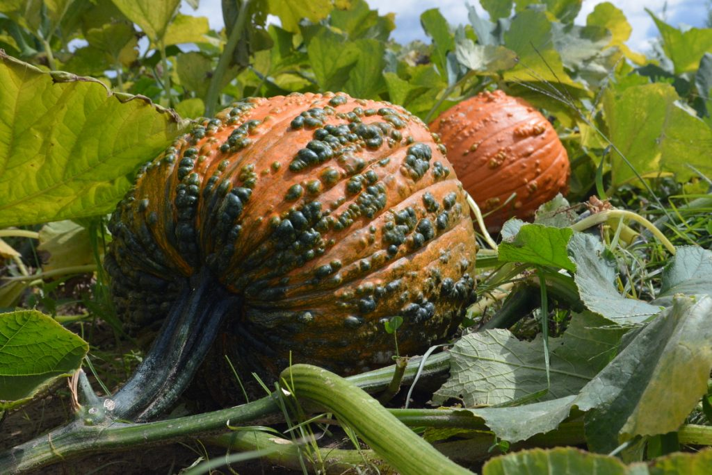 Bunch O Warts F1 Pumpkin