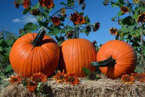 Edison (Hybrid) Pumpkin