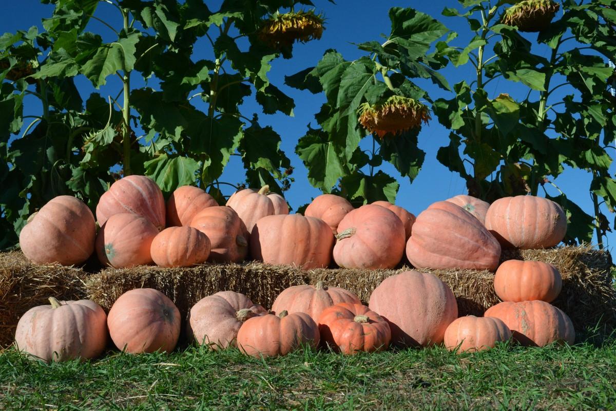 Newton F1 Pumpkin