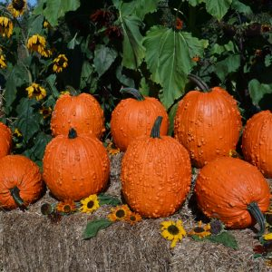 Bunch O Warts F1 Pumpkin
