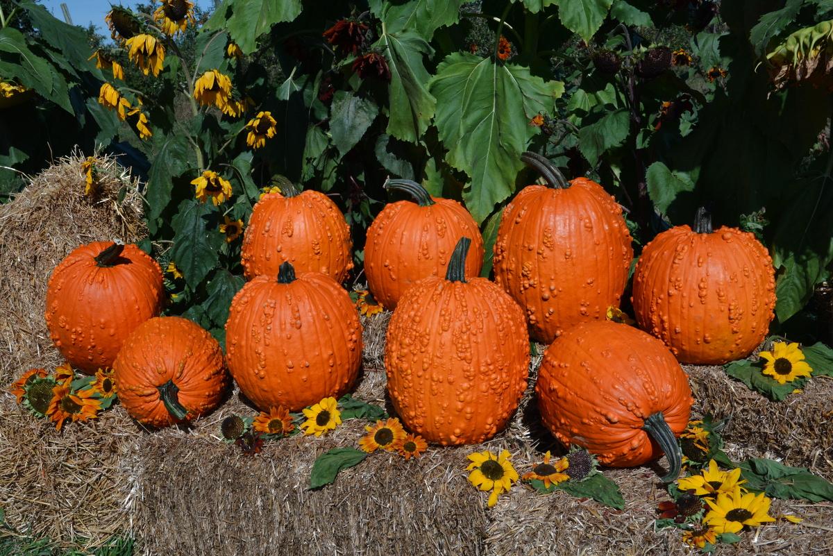 Bunch O Warts F1 Pumpkin Powdery Mildew Resistant Semi Bush