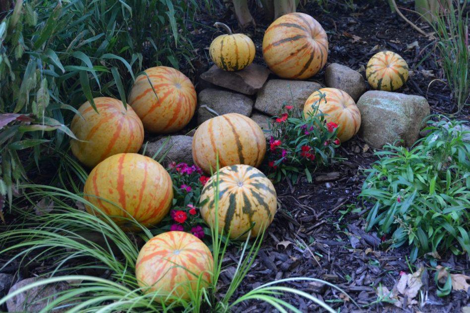 Millionaire (Hybrid) Pumpkin