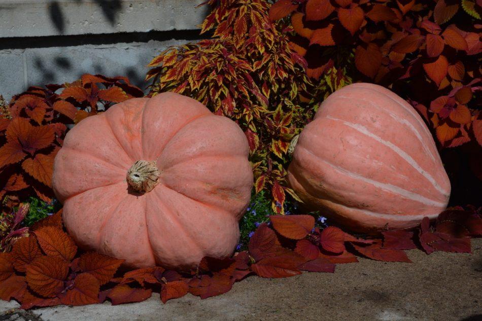 Newton (Hybrid) Pumpkin