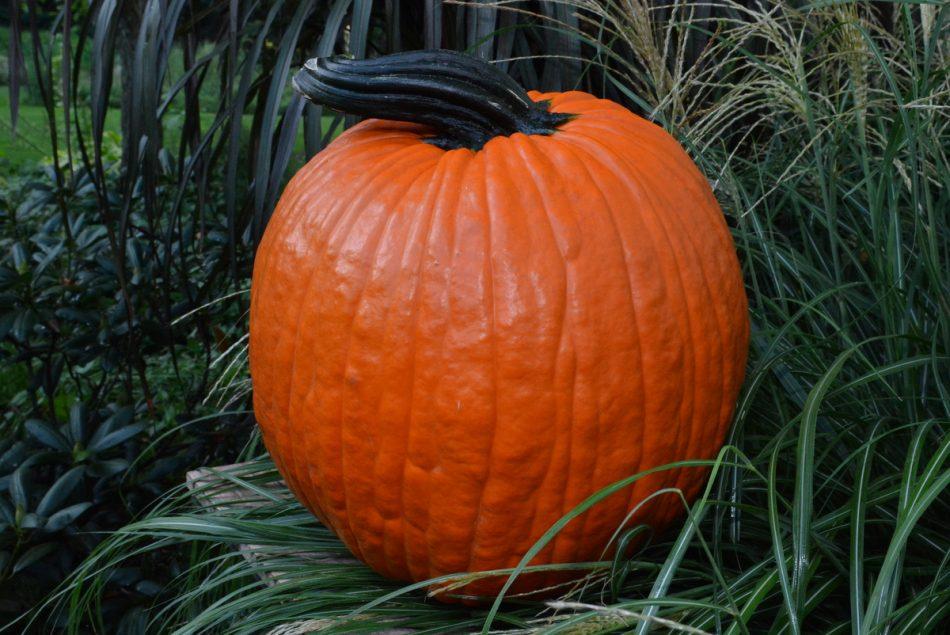 Gemini F1 Pumpkin