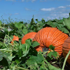 Denali F1 Pumpkin