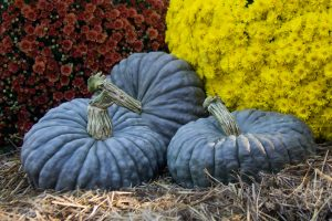 Royal Blue F1 Pumpkin