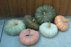 Calico Belle F1 Stacking Pumpkin