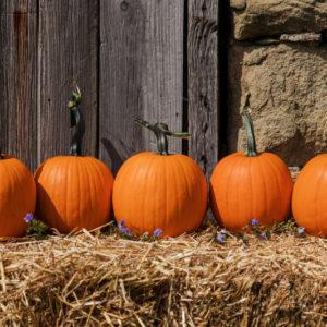 County Fair F1 Pumpkin