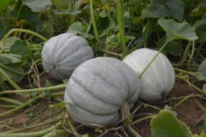 White Delight F1 Pumpkin