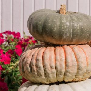 Calico Belle F1 Pumpkin