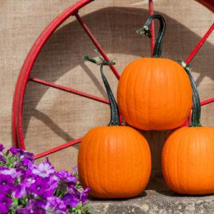 First Grade F1 Pumpkin