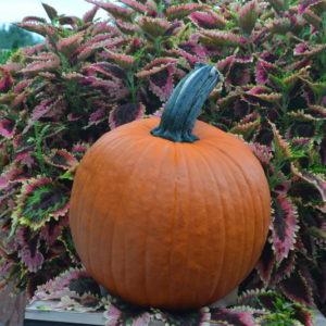 State Fair F1 Pumpkin